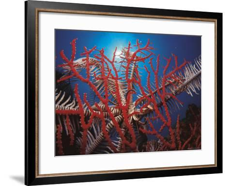 Featherstar, on Fan Coral Indo Pacific-Jurgen Freund-Framed Art Print