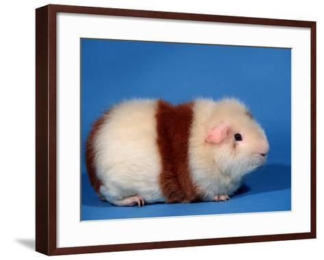 Red and White Rex Guinea Pig-Petra Wegner-Framed Art Print