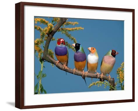 Four Gouldian Finches-Petra Wegner-Framed Art Print