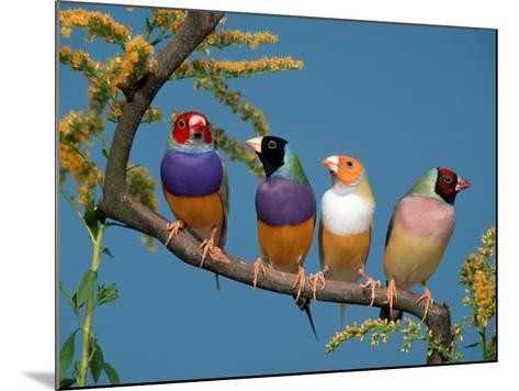 Four Gouldian Finches-Petra Wegner-Mounted Photographic Print