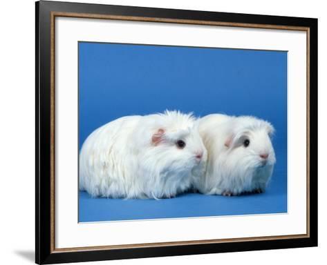 Two White Coronet Guinea Pigs-Petra Wegner-Framed Art Print