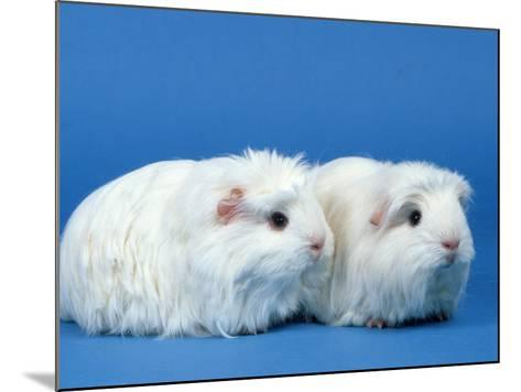 Two White Coronet Guinea Pigs-Petra Wegner-Mounted Photographic Print