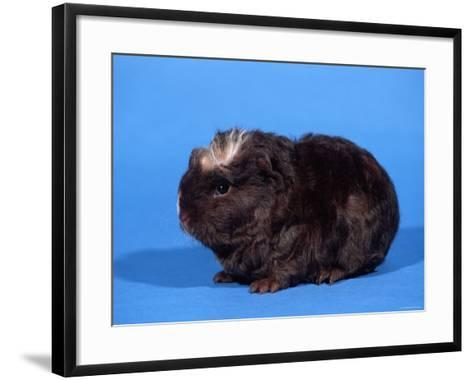 Merino Guinea Pig-Petra Wegner-Framed Art Print