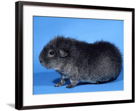 Rex Guinea Pig-Petra Wegner-Framed Art Print