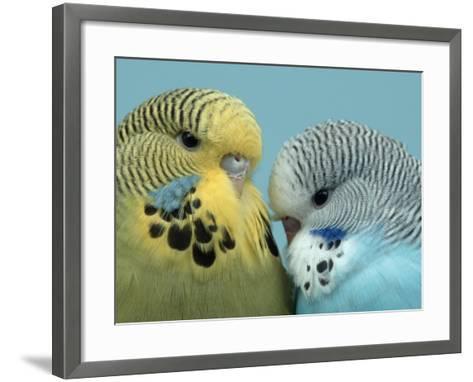 Budgerigar Pair Courting-Petra Wegner-Framed Art Print