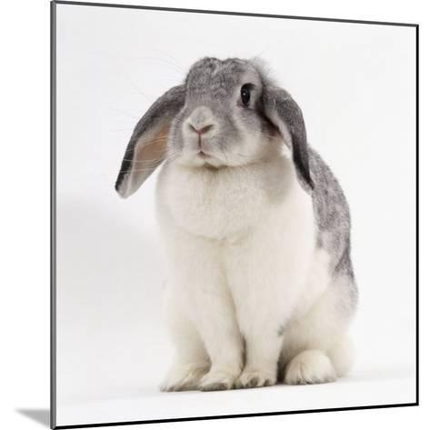 Female Silver and White French Lop-Eared Rabbit-Jane Burton-Mounted Photographic Print