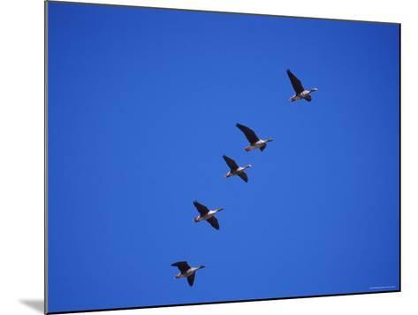 Five White Fronted Geese in Formation Flight, Estonia-Niall Benvie-Mounted Photographic Print