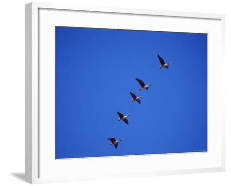 Five White Fronted Geese in Formation Flight, Estonia-Niall Benvie-Framed Art Print
