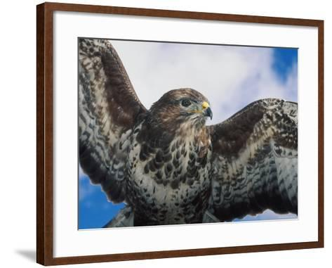 Female Common Buzzard with Wings Outstretched, Scotland-Niall Benvie-Framed Art Print