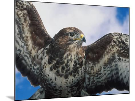 Female Common Buzzard with Wings Outstretched, Scotland-Niall Benvie-Mounted Photographic Print