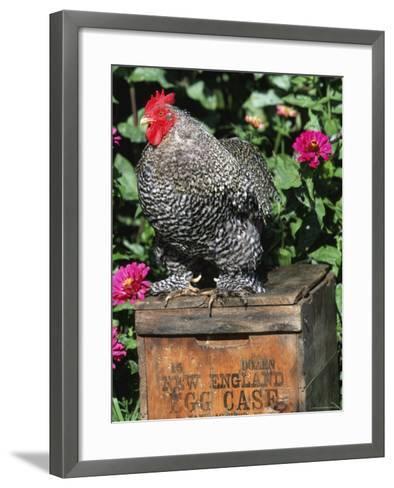 Domestic Chicken, Barred Rock Cohin Bantam Rooster, Iowa, USA-Lynn M^ Stone-Framed Art Print