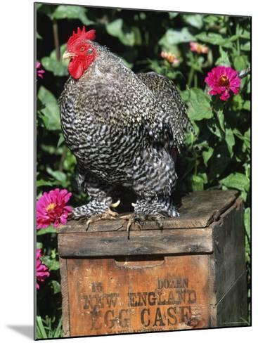 Domestic Chicken, Barred Rock Cohin Bantam Rooster, Iowa, USA-Lynn M^ Stone-Mounted Photographic Print