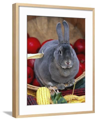 Domestic Rabbit, Mini Rex Breed-Lynn M^ Stone-Framed Art Print