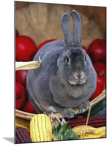 Domestic Rabbit, Mini Rex Breed-Lynn M^ Stone-Mounted Photographic Print