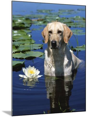 Labrador Retriever Dog in Lake, Illinois, USA-Lynn M^ Stone-Mounted Photographic Print