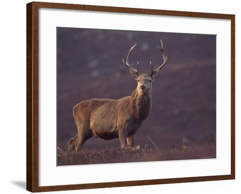 Red Deer Stag on Hillside, Inverness-Shire, Scotland-Niall Benvie-Framed Art Print