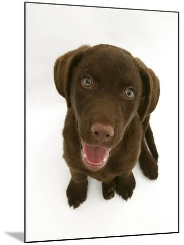 Chesapeake Bay Retriever Dog Pup, 'Teague', 9 Weeks Old Looking Up-Jane Burton-Mounted Photographic Print