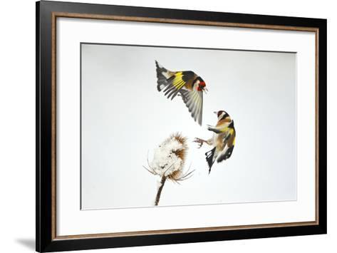 Two Goldfinches (Carduelis Carduelis) Squabbling over Common Teasel Seeds, Cambridgeshire, UK-Mark Hamblin-Framed Art Print
