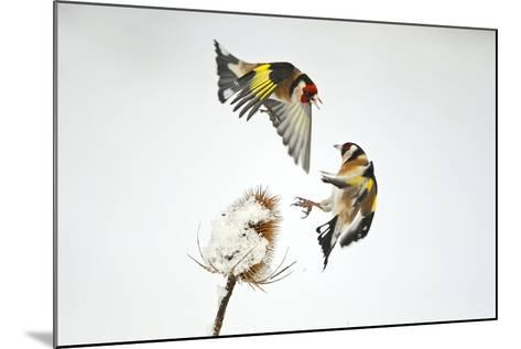 Two Goldfinches (Carduelis Carduelis) Squabbling over Common Teasel Seeds, Cambridgeshire, UK-Mark Hamblin-Mounted Photographic Print