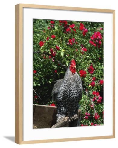 Domestic Chicken, Barred Rock Cochin Bantam Rooster, Iowa, USA-Lynn M^ Stone-Framed Art Print