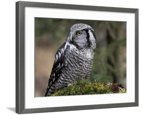 Northern Hawk Owl, Alaska, Us-Lynn M^ Stone-Framed Art Print