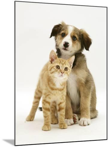 British Shorthair Red Tabby Kitten Sitting with Sable Border Collie Pup-Jane Burton-Mounted Photographic Print