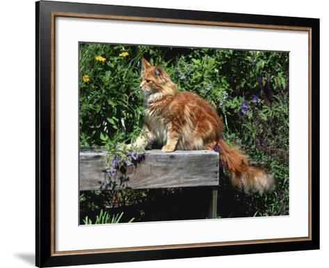 Domestic Cat, Maine Coon Breed, Maine, USA-Lynn M^ Stone-Framed Art Print