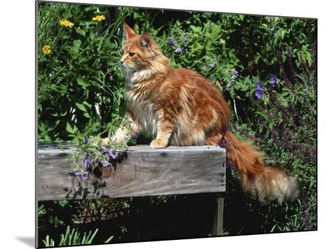 Domestic Cat, Maine Coon Breed, Maine, USA-Lynn M^ Stone-Mounted Photographic Print