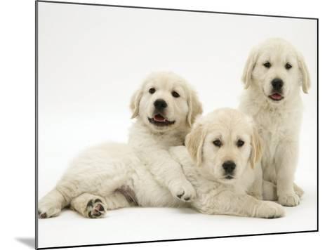 Three Golden Retriever Pups-Jane Burton-Mounted Photographic Print