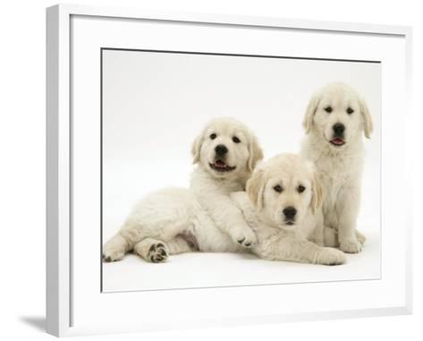 Three Golden Retriever Pups-Jane Burton-Framed Art Print