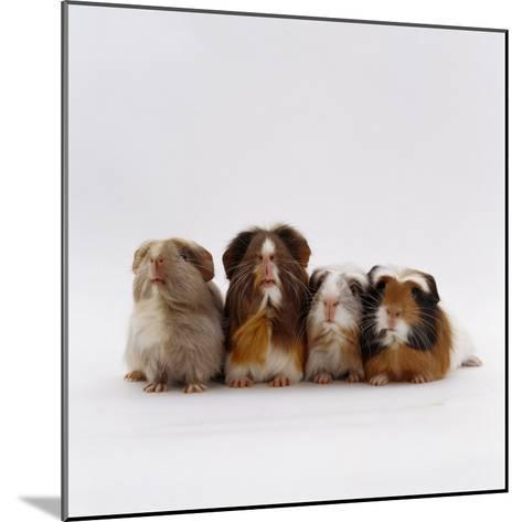 Female Crested Guinea Pig with Three Six-Week Babies, UK-Jane Burton-Mounted Photographic Print
