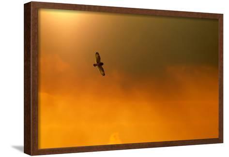 Short-Eared Owl (Asio Flammeus) in Flight, Backlit, at Dusk, Lincolnshire, UK, March-Ben Hall-Framed Art Print