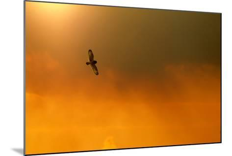 Short-Eared Owl (Asio Flammeus) in Flight, Backlit, at Dusk, Lincolnshire, UK, March-Ben Hall-Mounted Photographic Print