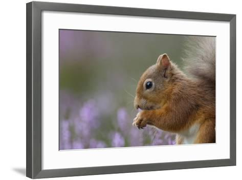Red Squirrel (Sciurus Vulgaris) in Flowering Heather. Inshriach Forest, Scotland, September-Peter Cairns-Framed Art Print