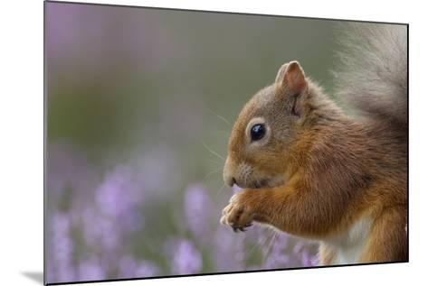 Red Squirrel (Sciurus Vulgaris) in Flowering Heather. Inshriach Forest, Scotland, September-Peter Cairns-Mounted Photographic Print