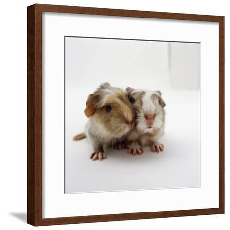 Two Baby Crested Guinea Pigs, One-Day-Jane Burton-Framed Art Print
