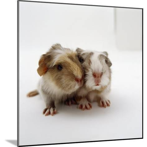 Two Baby Crested Guinea Pigs, One-Day-Jane Burton-Mounted Photographic Print