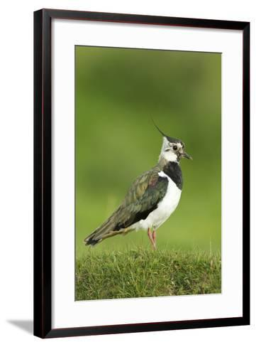 Lapwing (Vanellus Vanellus) Adult in Breeding Plumage, Scotland, UK, June-Mark Hamblin-Framed Art Print