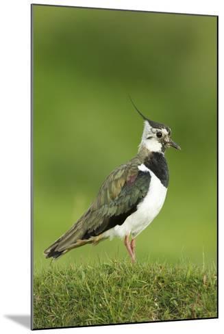 Lapwing (Vanellus Vanellus) Adult in Breeding Plumage, Scotland, UK, June-Mark Hamblin-Mounted Photographic Print