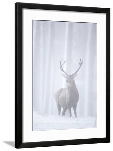 Red Deer (Cervus Elaphus) Stag in Pine Forest in Snow Blizzard, Cairngorms Np, Scotland, UK-Peter Cairns-Framed Art Print