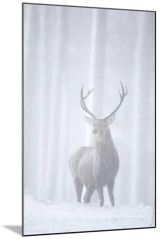 Red Deer (Cervus Elaphus) Stag in Pine Forest in Snow Blizzard, Cairngorms Np, Scotland, UK-Peter Cairns-Mounted Photographic Print