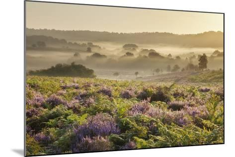 New Forest Heathland with Ling (Calluna Vulgaris) and Bell Heather (Erica Cinerea) Hampshire, UK-Guy Edwardes-Mounted Photographic Print