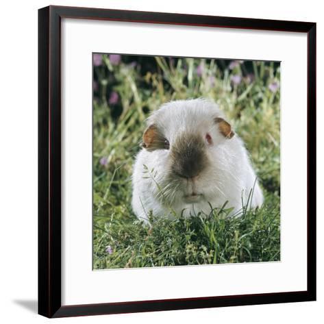 Himalayan Guinea Pig, Male-Jane Burton-Framed Art Print