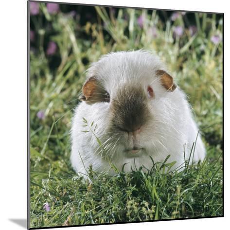 Himalayan Guinea Pig, Male-Jane Burton-Mounted Photographic Print