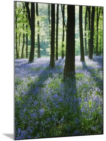A Carpet of Bluebells (Endymion Nonscriptus) in Beech (Fagus Sylvatica) Woodland, Hampshire, UK-Guy Edwardes-Mounted Photographic Print