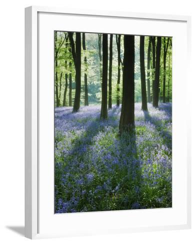A Carpet of Bluebells (Endymion Nonscriptus) in Beech (Fagus Sylvatica) Woodland, Hampshire, UK-Guy Edwardes-Framed Art Print