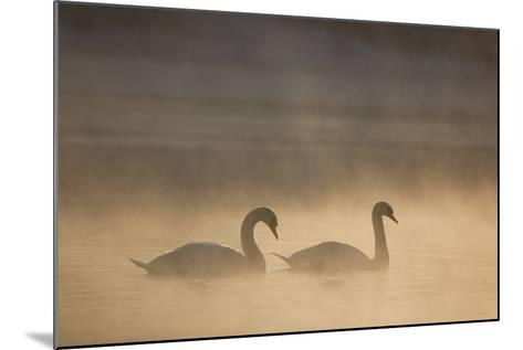 Mute Swan (Cygnus Olor) Pair on Water in Winter Dawn Mist, Loch Insh, Cairngorms Np, Highlands, UK-Peter Cairns-Mounted Photographic Print