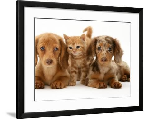 Miniature Long-Haired Dachshund Puppies with British Shorthair Red Tabby Kitten-Jane Burton-Framed Art Print