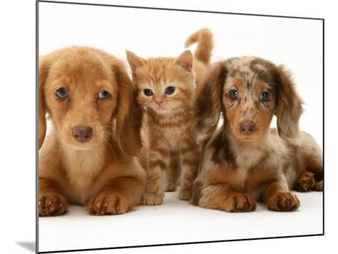 Miniature Long-Haired Dachshund Puppies with British Shorthair Red Tabby Kitten-Jane Burton-Mounted Photographic Print