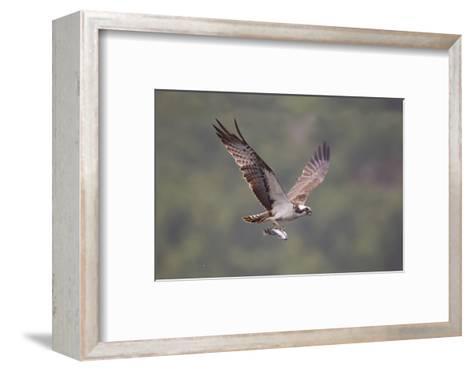 Osprey (Pandion Haliaeetus) in Flight, Fishing at Dawn, Rothiemurchus, Cairngorms Np, Scotland, UK-Peter Cairns-Framed Art Print